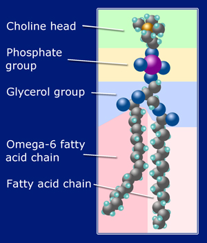 Anatomy of Phosphatidylcholine
