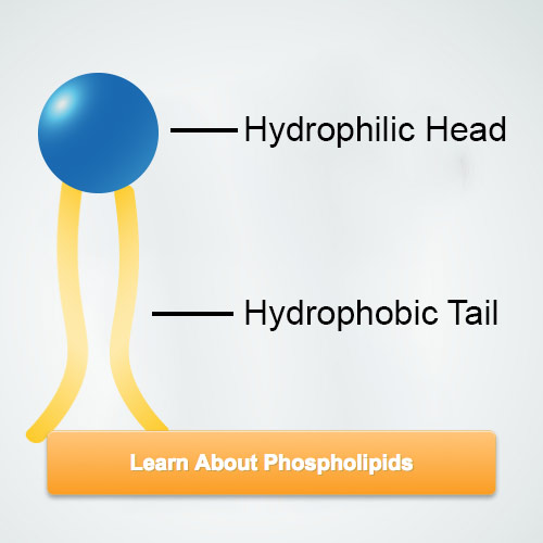 learn about phospholipids