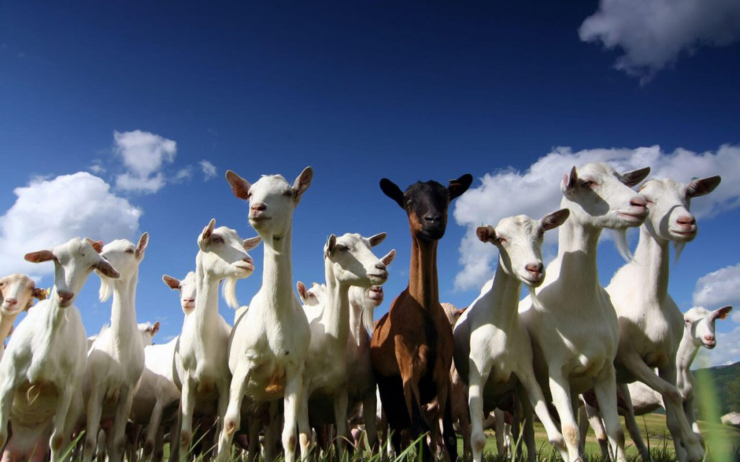 goats in a field on a nice day