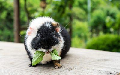 Are You Healthier Than A Guinea Pig?